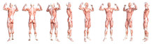 Conceptual Anatomy Healthy Ski...