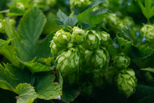 Cones Of Green Hops For Beer C...