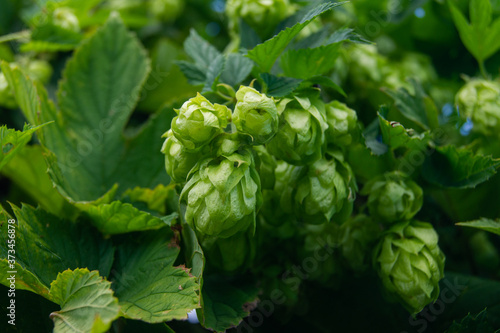 Cones of green hops for beer close-up. Fototapet