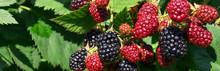 Blackberry Bush Close Up. Berr...