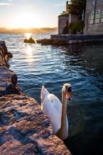 White Swan On The Lake At Sunset
