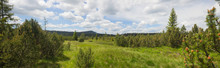Wide View Of Spruce Trees In T...