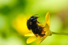 Yellow, Cute, Fuzzy Bumblebee Pollinating A Yellow Flower In A Botanical Garden.. Environment And Ecology