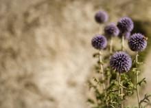 Globe Thistle, Flowering Plant...