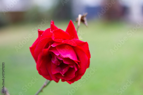 Fotografie, Obraz Wild rose (Rosaceae) red with green blur background