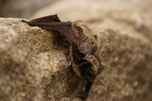 Small Bat Resting On The Rock