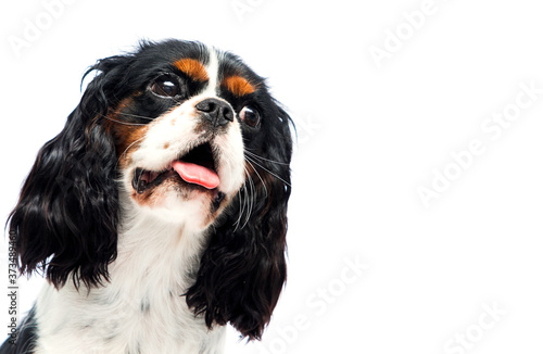 dog peeps out Cavalier King Charles Spaniel on a white background Wallpaper Mural