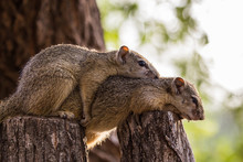 Two Tree Squirrel Brothers Res...