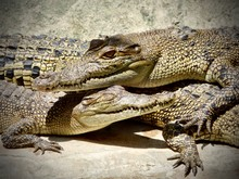 Close Up Of Two Alligators