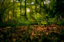 Ferns In Sunlit Forest