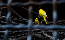 Two Yellow Canaries In A Cage
