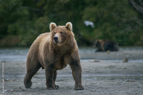 Photo Ruling the landscape, brown bears of Kamchatka