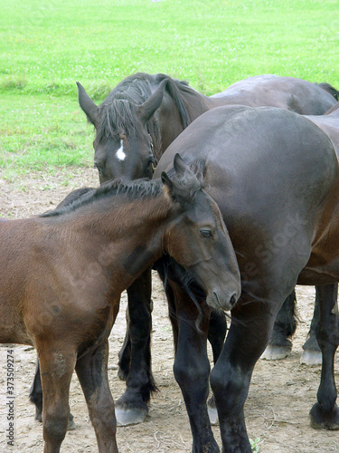 Fotografiet Mares and foal in the pasture in Vermont
