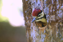 Young Woodpecker Looks Out Of His Breeding Cave