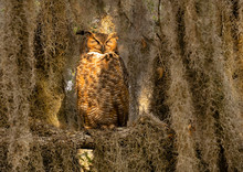Great Horned Owl Sleeping On Tree Covered With Spanish Moss