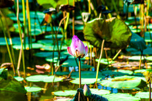 Pink Flower, Blooming In The Center Of A Water Lily Pond