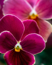 Close Up Of Two Pansies