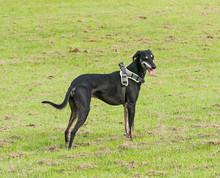 Lurcher Dog In Harness