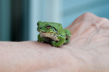 Gray Tree Frog Stock Photo.   ...