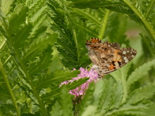 Painted Lady Butterfly (Vanessa Cardui) - Close Up Of Orange-black-white Butterfly On Pink Clover Flower