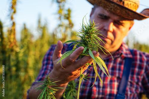 Photo Farmer growing hemp and checking plants growth.
