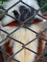 Monkey In A Zoo Behind A Fence