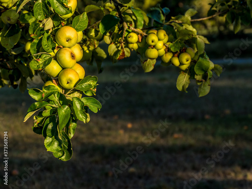 Leinwand Poster Reife Äpfel am Baum