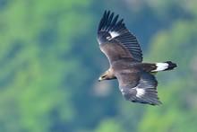 グリーンバックに優雅に飛ぶイヌワシ幼鳥
