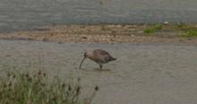 Curlew Wading Bird Long Beak Feeding Shallow Wetland Water Slow Motion