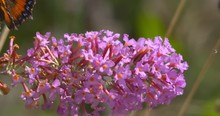 Butterfly And Hover Fly Feeding On Pink Wildflower Cluster Summer Sun Slow Motion
