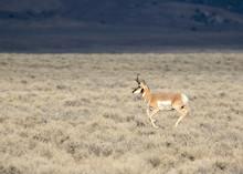 Pronghorn Antelope In The Sagebrush