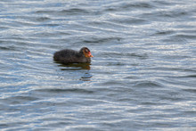 Chick Of Eurasian Coot (Fulica Atra) Swimming Alone In The Water