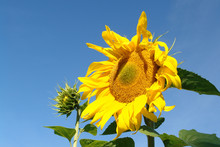 A Close Up Of Common Sunflower...