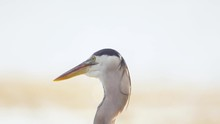 Great Blue Heron Close Up Shaking Head Back And Forth In Slow Motion