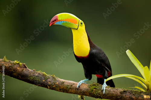 Papel de parede Keel-billed toucan (Ramphastos sulfuratus), also known as sulfur-breasted toucan or rainbow-billed toucan, is a colorful Latin American member of the toucan family