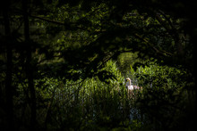 A Solitary White Swan Swims In...