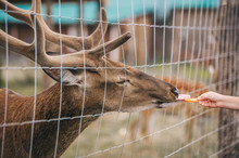 A Brown Horned Deer Eating Fro...
