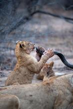 Lion Cub Chewing A Kudu Horn