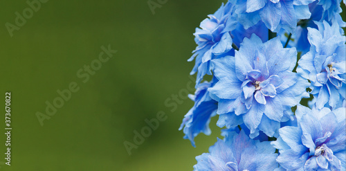 Foto Blue inflorescences delphinium on a green background.
