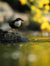 Dipper With Yellow Gorse