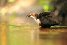 Dipper Flapping Wings