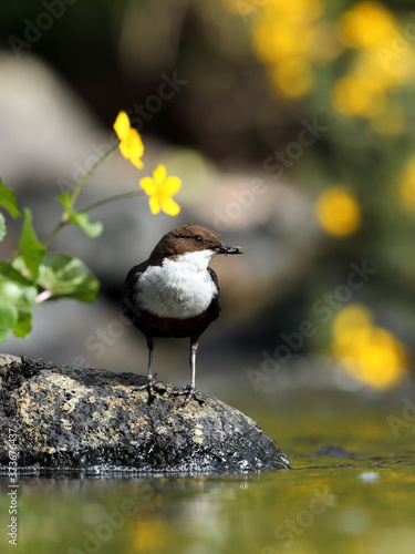 Dipper framed by yellow flower Canvas-taulu