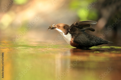 Foto Dipper flapping wings