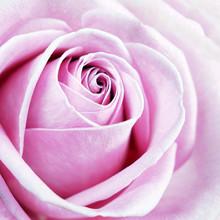 Beautiful Pink Rose Macro Back...