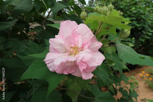 Fényképezés pink rose bush