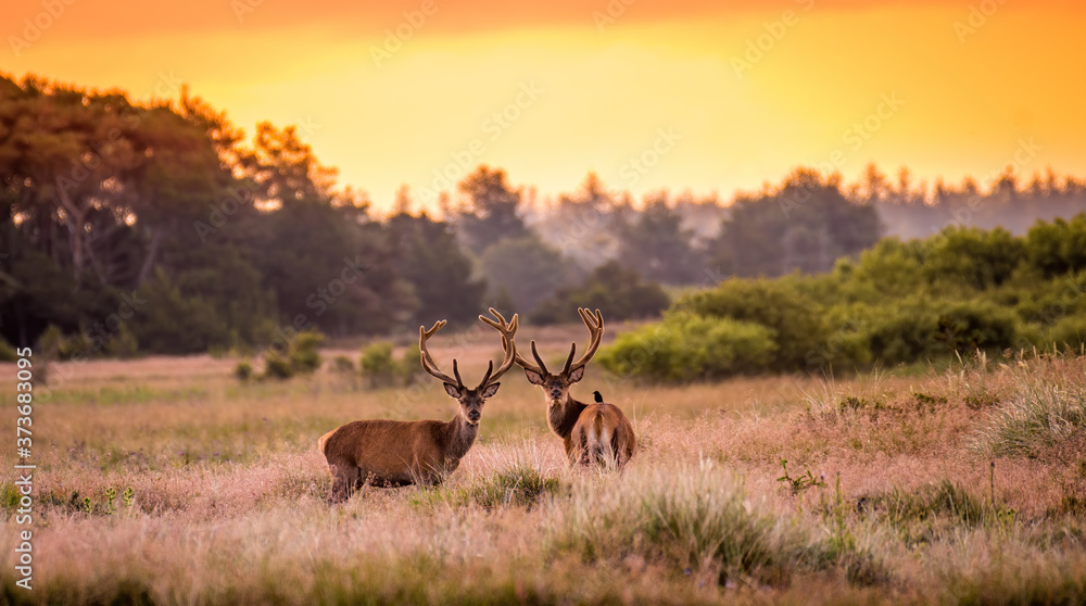 Fototapeta Two Red deer males in the sunset.