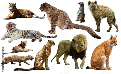 Photo African predator animals isolated over white background, mainly Felidae