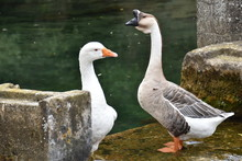 European Goose And A Chinese S...