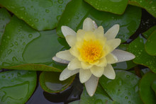 Top View Of Single Fully Open White Water Lily (Lotus) Flower With Water Drops On Green Lily Pads, Natural Background