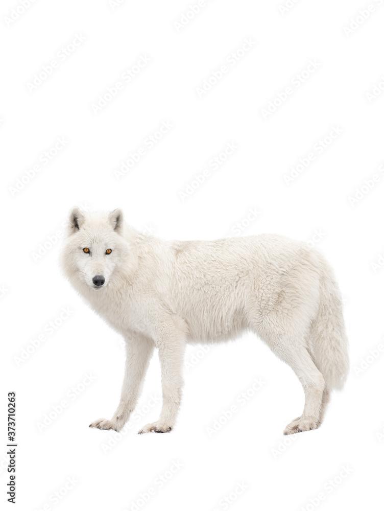 Fototapeta Polar wolf isolated on a white background.